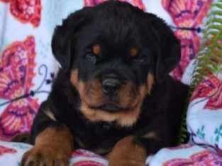 Vick Male Rottweiler Puppy