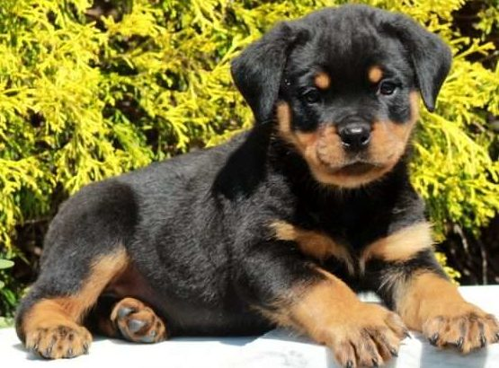 Cory Male Rottweiler Puppy