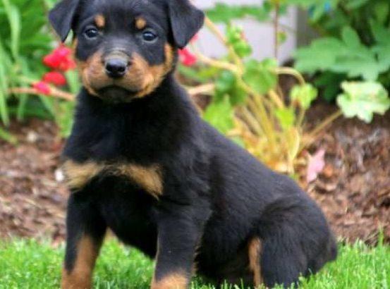 Derek Male Rottweiler Puppy