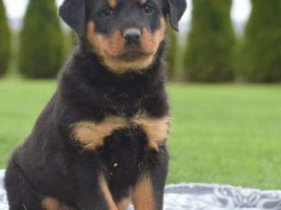 Leo Male Rottweiler Puppy