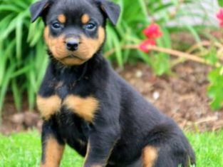 Dahlia Rottweiler Puppy