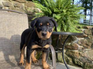 Nitro – Rottweiler Puppy