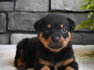 Roscoe – Rottweiler Puppy