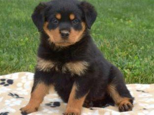 Summer Rottweiler Puppy