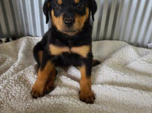 Mocha – Rottweiler Puppy